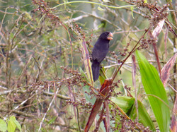 Nicaraguan Seed-Finch, Costa Rica by Paco Madrigal
