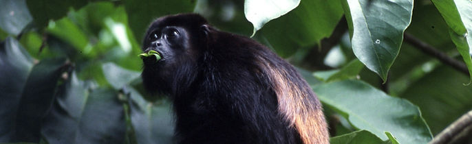 Mantled Howler Monkey photo taken on Cotinga Tours nature tour in Costa Rica