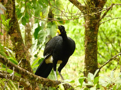 Great Curassow, Costa Rica by Paco Madrigal