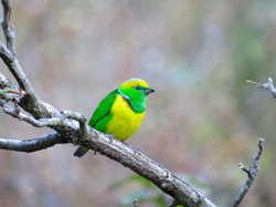 Golden-browed Chlorophonia, Costa Rica by Paco Madrigal