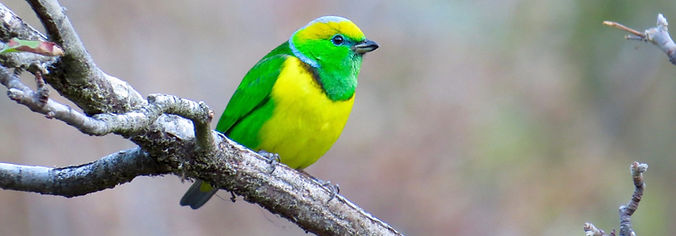 Golden-browed Chlorophonia, Costa Rica by Paco Madrigal_edited.jpg