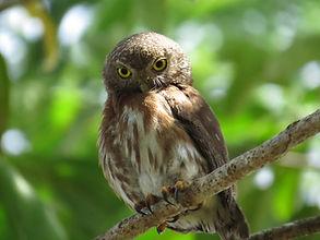 Central A. Pygmy Owl (13).JPG