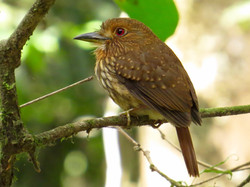 White-whiskered Puffbird, Costa Rica by Paco Madrigal
