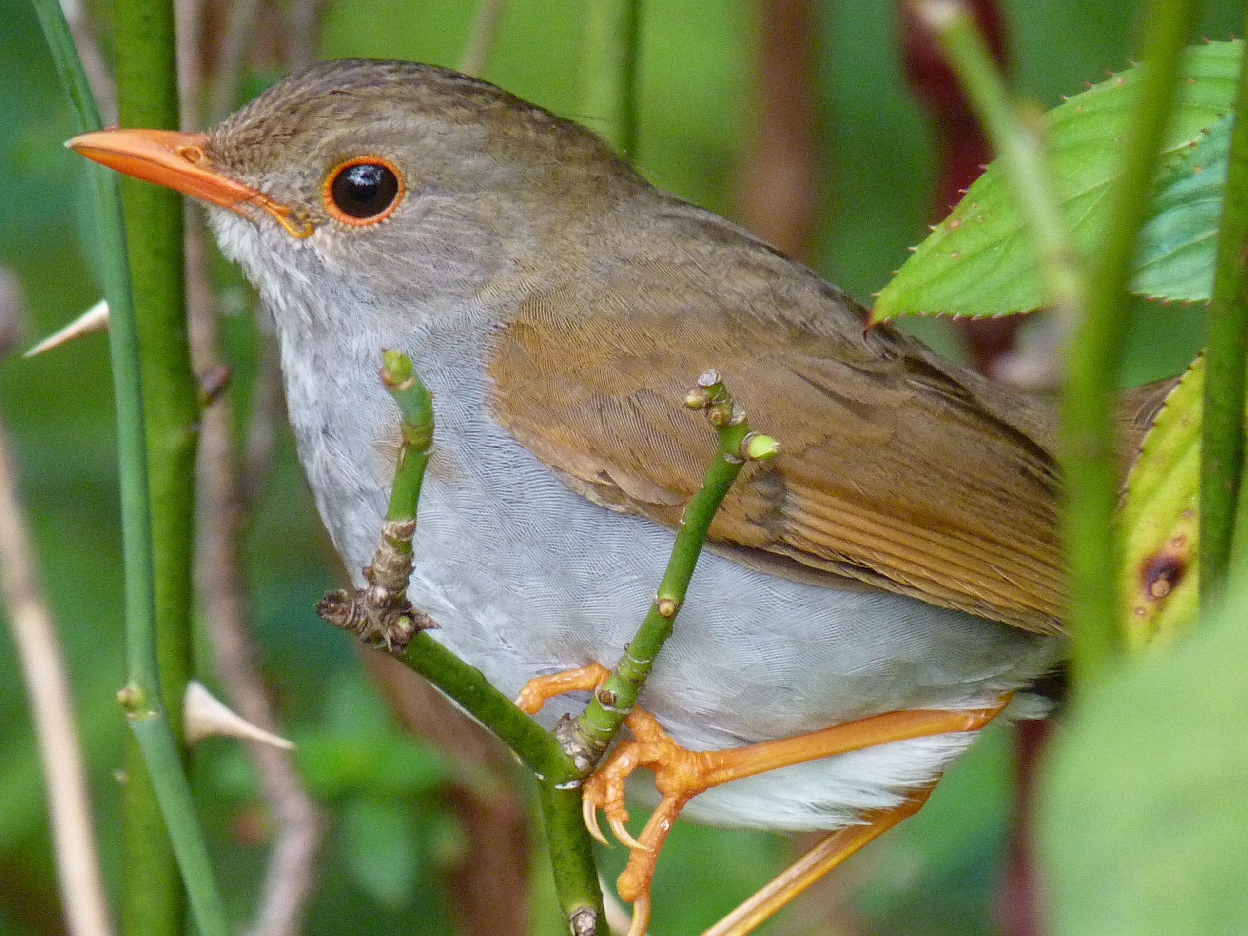 Orange-billed Nightingale-Thrush, Costa Rica by Paco Madrigal