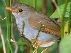 Orange-billed Nightingale-Thrush, Costa Rica by Paco Madrigal