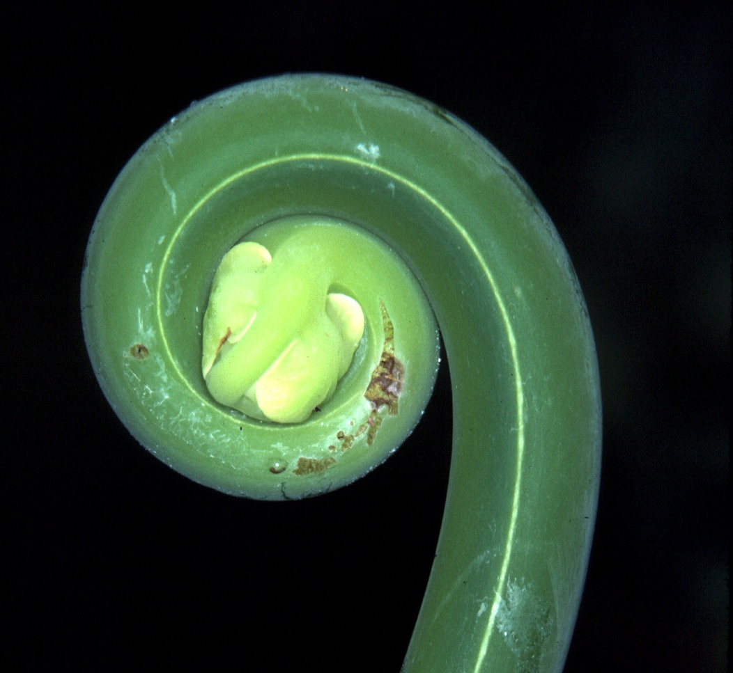 fern fiddlehead by Fred Atwood