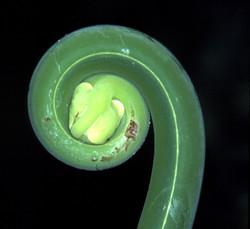 fern fiddlehead by Fred Atwood