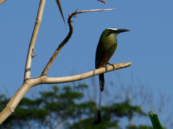 Turquoise-browed Motmot, Costa Rica by Paco Madrigal