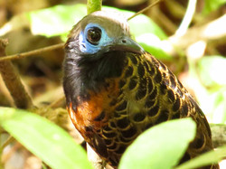 Ocellated Antbird, Costa Rica by Paco Madrigal
