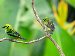 Emerald Tanager, Costa Rica by Paco Madrigal