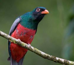 Slaty-tailed Trogon male Costa Rica 08 1 Keith Offord_edited