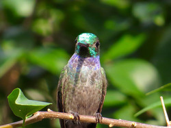 Blue-chested Hummingbird, Panama by Paco Madrigal