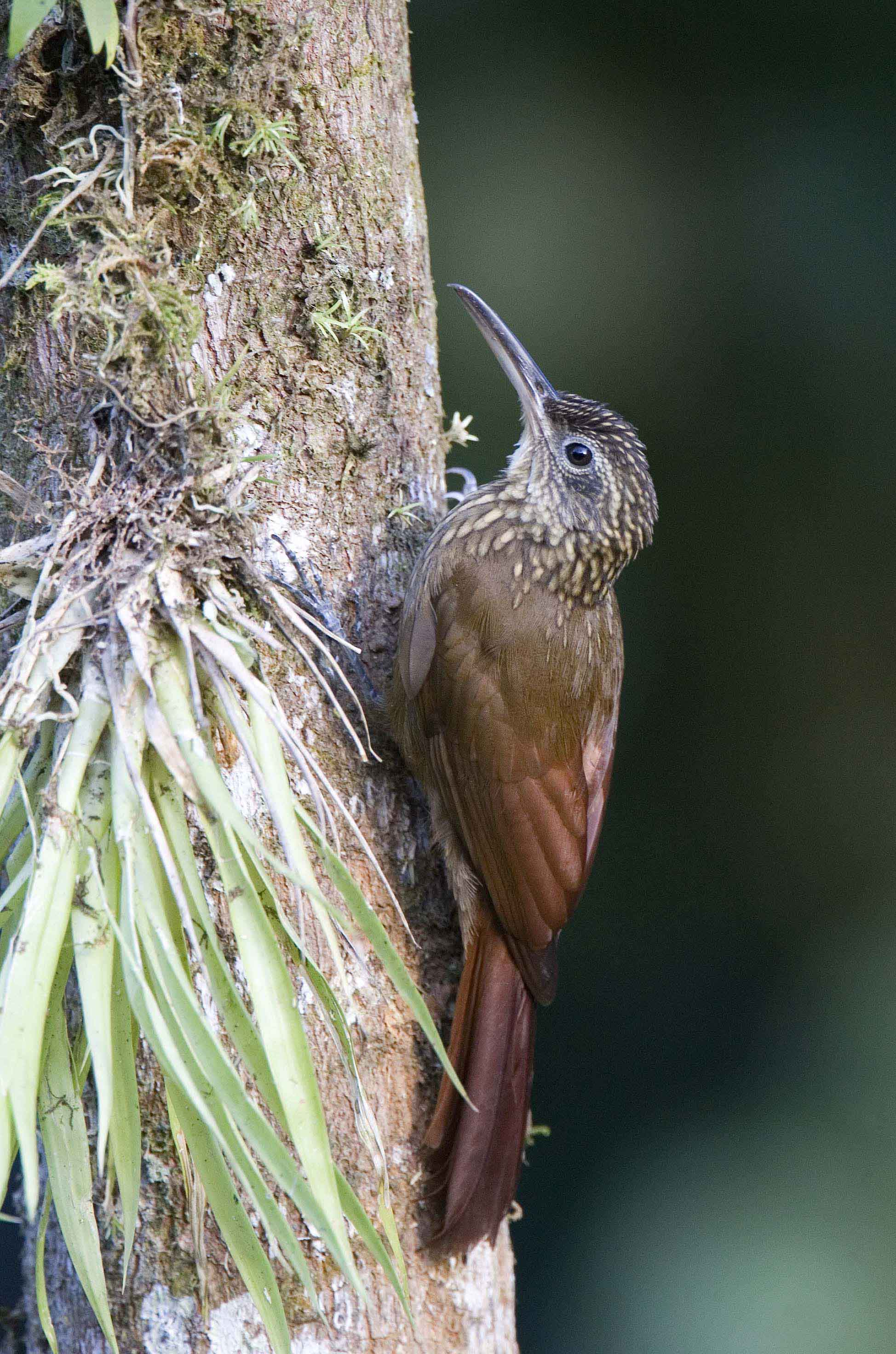 Cocoa Woodcreeper 2 Costa Rica 2009 Keith Offord