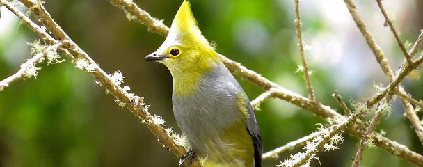 Long-tailed Silky-flycatcher, Costa Rica