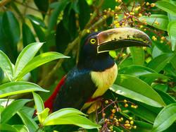 Collared Aracari, Costa Rica by Paco Madrigal
