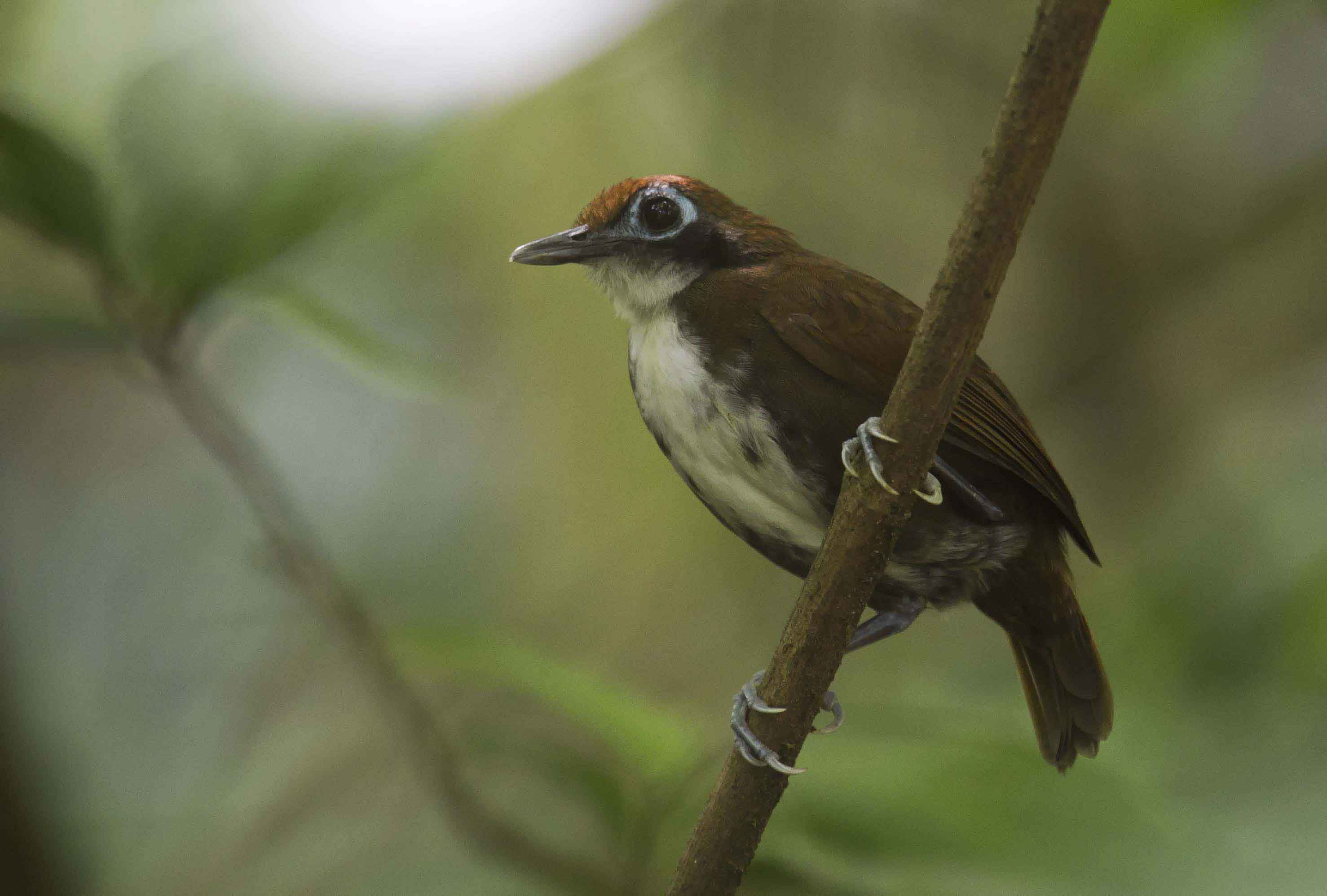 Bicoloured Antbird  Costa Rica 2012 Keith Offord