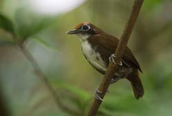 Bicoloured Antbird  Costa Rica 2012 Keith Offord