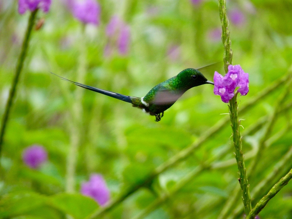 Green Thorntail, Costa Rica by Paco Madrigal