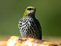 Speckled Tanager, Costa Rica by Roy Atkins