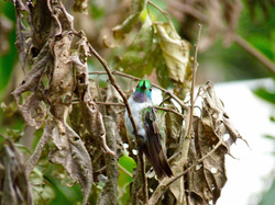 White-bellied Mountain-gem, Costa Rica by Paco Madrigal