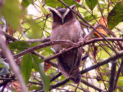 Crested Owl, Costa Rica by Paco Madrigal