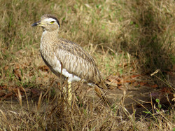 Double-striped Thick-knee, Costa Rica by Paco Madrigal