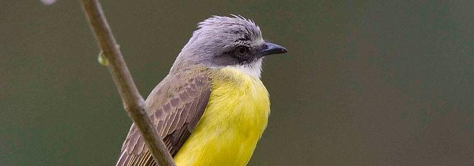 Crimmson collared Tanager photo taken on Cotinga Tours Birding Tour