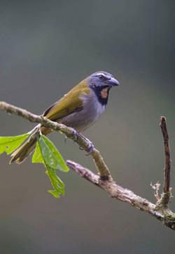 Buff-throated Saltator Costa Rica 09 1 Keith Offord