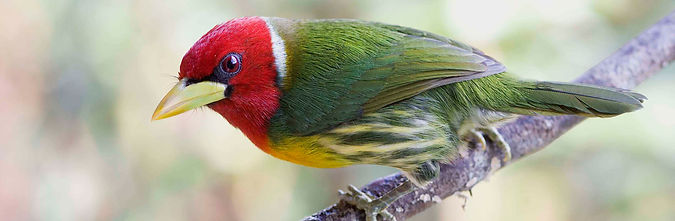 Red-headed Barbet Costa Rica 08 1 Keith Offord.jpg