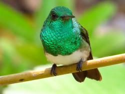 Snowy-bellied Hummingbird, Costa Rica by Paco Madrigal