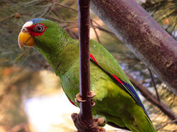 Whte-fronted Parrot, Costa Rica by Paco Madrigal
