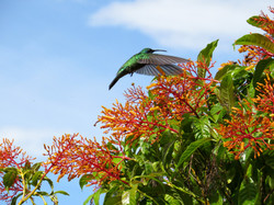 Green Violetear, Costa RIca by Paco Madrigal