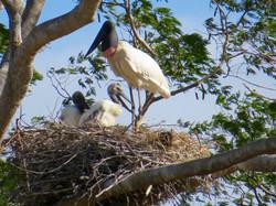 Jabiru on nest, Costa Rica by Paco Madrigal