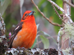 Flame-colored Tanager, Costa Rica by Paco Madrigal