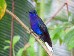 Violet Sabrewing, Costa Rica by Paco Madrigal