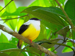White-collared Manakin, Costa Rica by Paco Madrigal