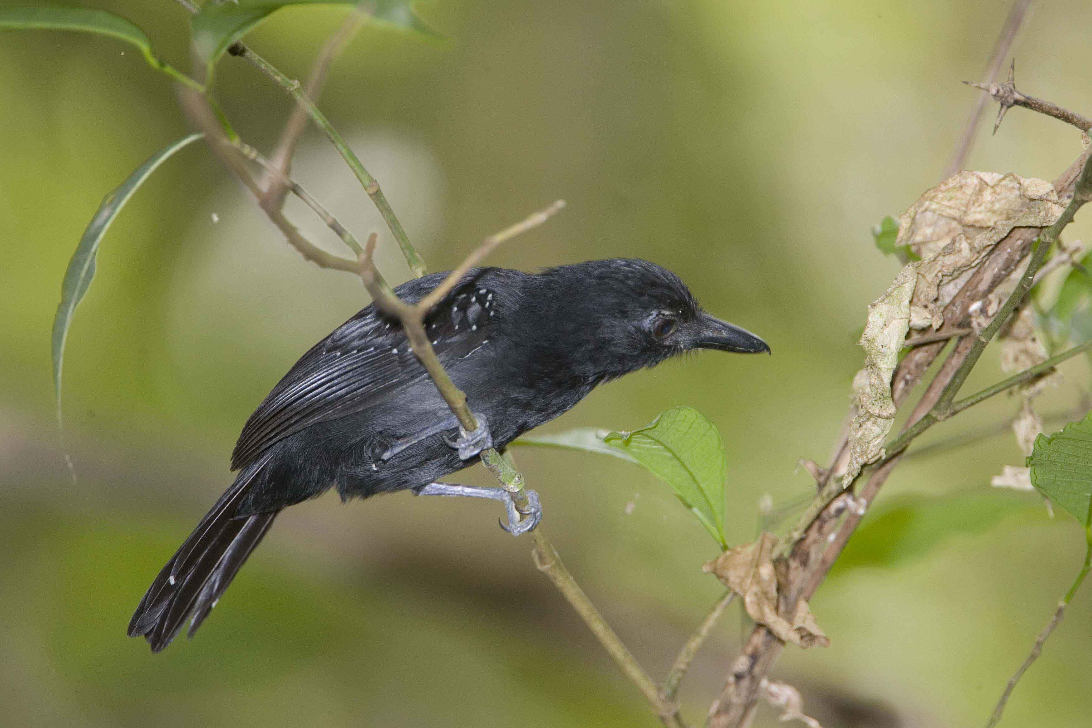 Black-hooded Antshrike male 1 Costa Rica 2011 Keith Offord
