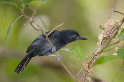 Black-hooded Antshrike male 1 Costa Rica 2011 Keith Offord