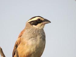 Stripe-headed Sparrow, Costa Rica by Paco Madrigal
