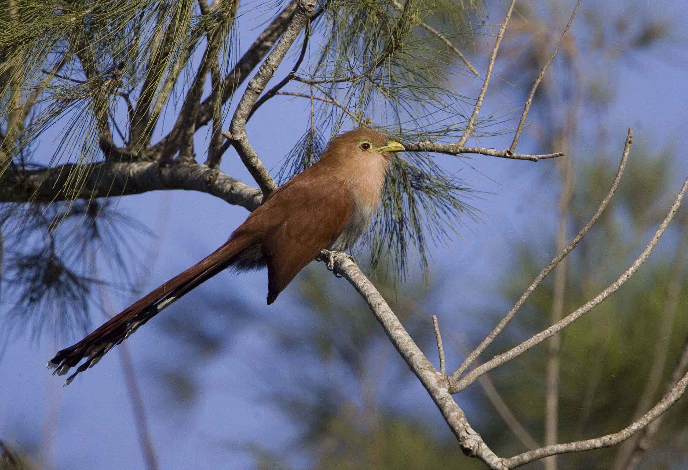 Squirrel Cuckoo Costa Rica 09 Keith Offord