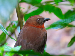 Red-throated Ant-Tanager, Costa RIca by Paco Madrigal