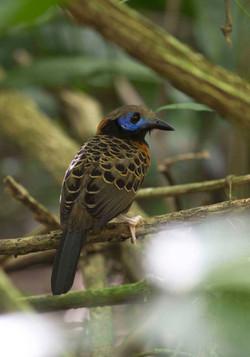 Oscellated Antbird Costa Rica 2012 1 Keith Offord