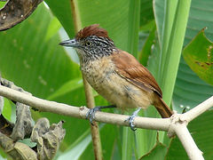 Barred Antshrike photo taken on Cotinga Tours birding tour.