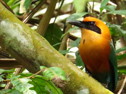 Rufous Motmot, Costa Rica by Paco Madrigal