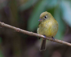 Yellowish Flycatcher Keith Offord Costa Rica 2012