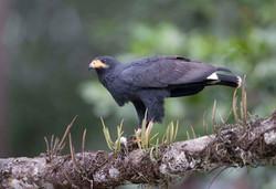 Mangrove Black Hawk Costa Rica 010 1 Keith Offord