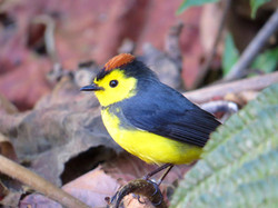 Collard Redstart, Costa Rica by Paco Madrigal