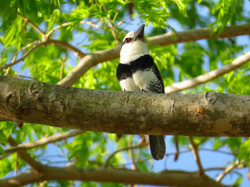 White-necked Puffbird, Costa Rica by Paco Madrigal