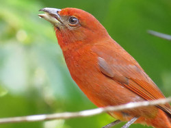 Hepatic Tanager, Costa Rica by Paco Madrigal