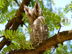 Pacific Screech-Owl, Costa Rica by Paco Madrigal
